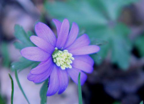 anemone b veneux 22 mars 007.jpg