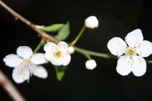 myrobolan fleurs 31 mars 005.jpg