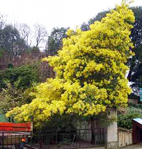 acacia decurrens 20 fev 2008.jpg