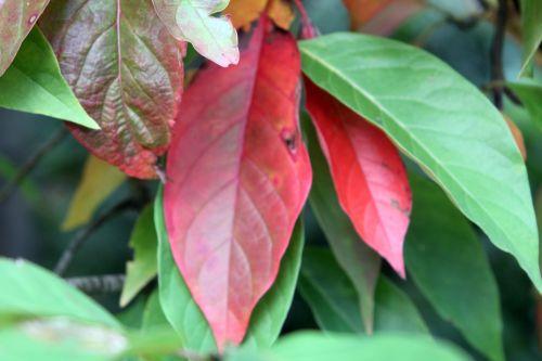 3 nyssa sinensis gb 21 oct 2012 285 (6).jpg