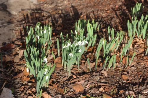 4 galanthus elwesii veneux 28 dec 2015 010 (1).jpg