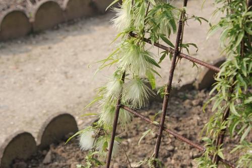 2 clematis napaulensis paris 18 mars 2015 115.jpg
