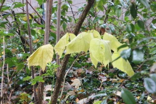 2 hibiscus paramutabilis veneux 14 nov 2016 001.jpg