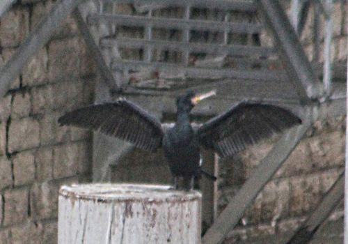 cormoran rec paris 12 janv 2013 p 016.jpg