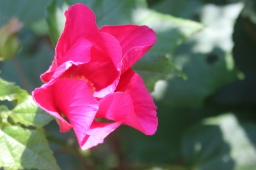 9 hibiscus mutabilis veneux 8 sept 2016 004 (2).jpg