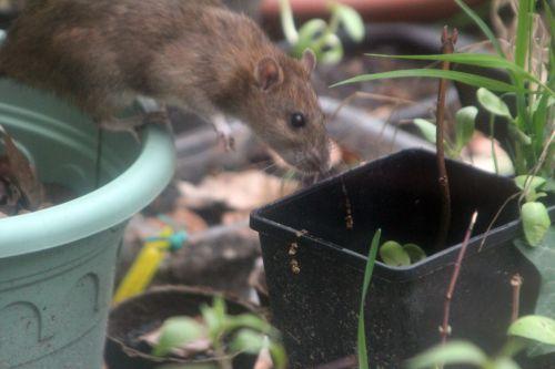 rat 27 avril 2012 058.jpg