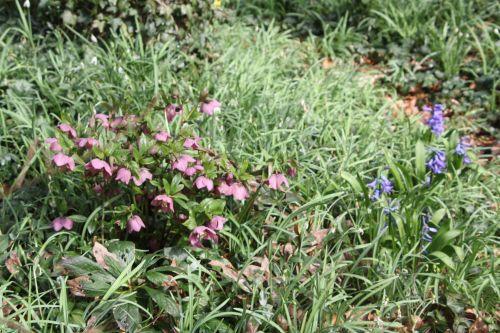 4 hellébore 18 mars 2012 004.jpg