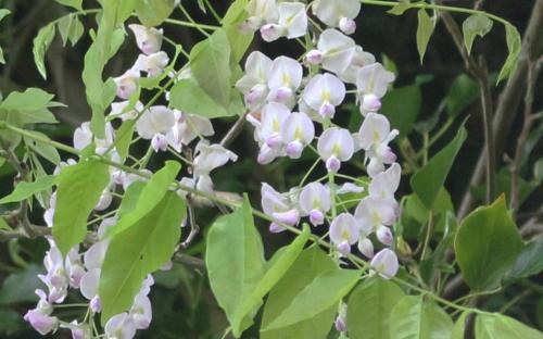9 wisteria 2 mai 2015 pr 018.jpg