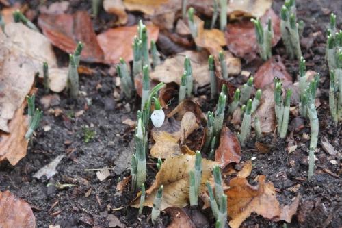 2 galanthus elwesii monostictus veneux 9 dec 2015 010 (5).jpg