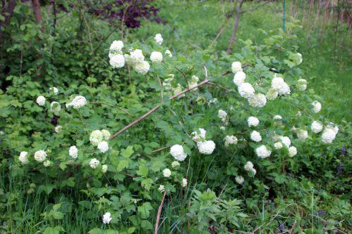 3 viburnum opulus roseum romi 3 mai 2014 033 (6).jpg