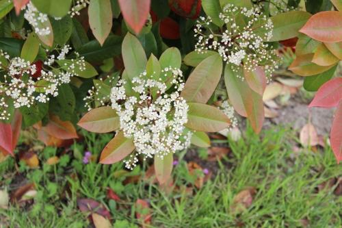 4 photinia veneux 18 mai 2013 011.jpg