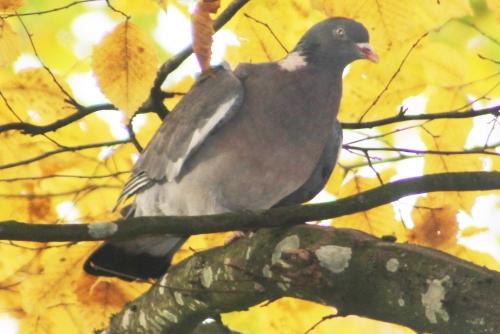 pigeon ramier rec veneux 23 nov 2014 011.jpg