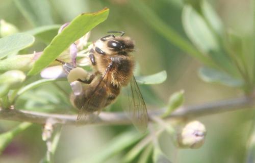 6 lycium chinense abeille marnay romi 26 juil 2017 006 (4).jpg