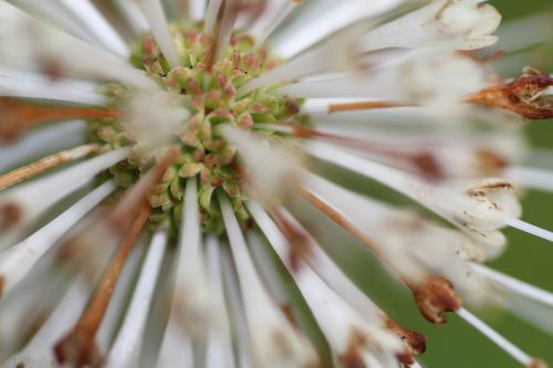 a cephanthus calice barres 27 juillet 2013 128.jpg