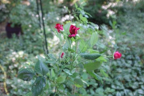 15 red parfum bouture 6 juin 2015 005.jpg