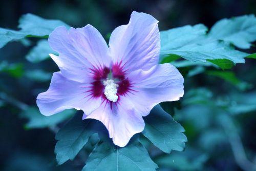 hibiscus syr veneux 29 juil 2010 015.jpg