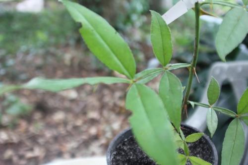 3 zanthoxylum subtrifoliatum 20 août 2015 007.jpg
