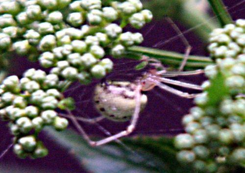 chinensis araignée bl pp 12 juil 010.jpg