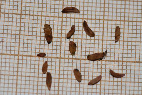 10 monstrosa graines 7 sept 007.jpg