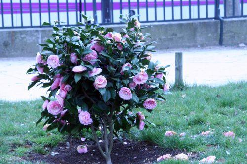 camellia paris 23 mars 034.jpg