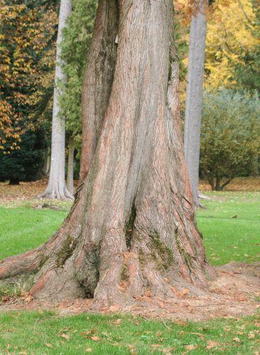 Metasequoia glyptostroboides 3 nov 035.jpg