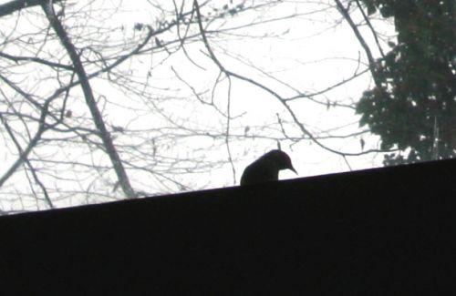 oiseau fenêtre 26 janv 004.jpg