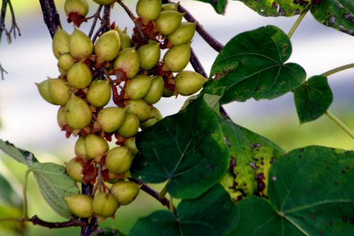 paulownia fruits arbofolia 9 oct 2010 014.jpg
