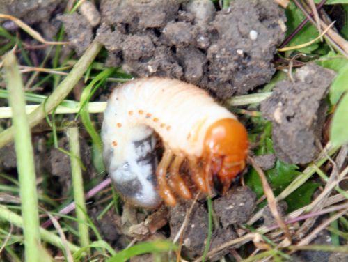hanneton larve romi 22 juin 085.jpg