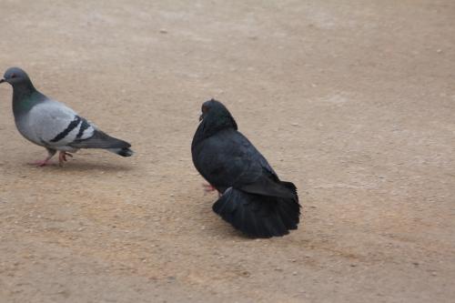 pigeons paris 10 fév 2015 003.jpg