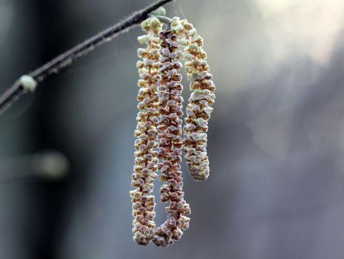 corylus chatons romi 27 janv 2012 030.jpg