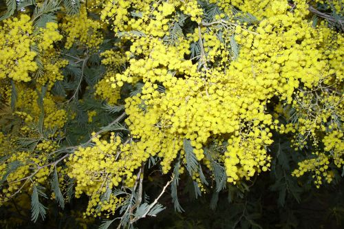 6 acacia decurrens 2008 20 fev 008.jpg