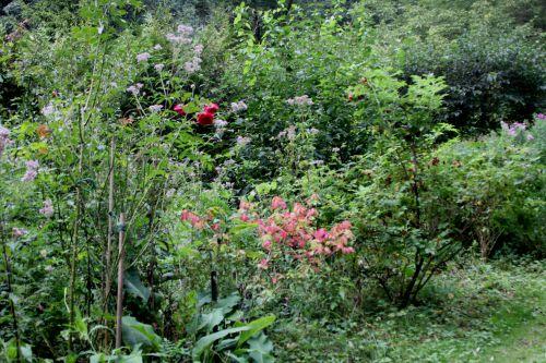 1 euonymus alatus romi 10 sept 2013 006.jpg