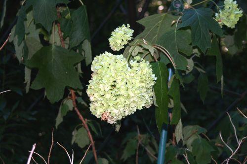 hydrangea harmonie 4 août 001.jpg