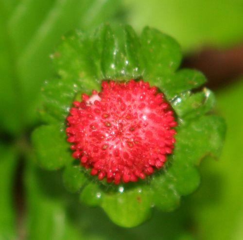duchesnea fruit veneux 14 juin 005.jpg