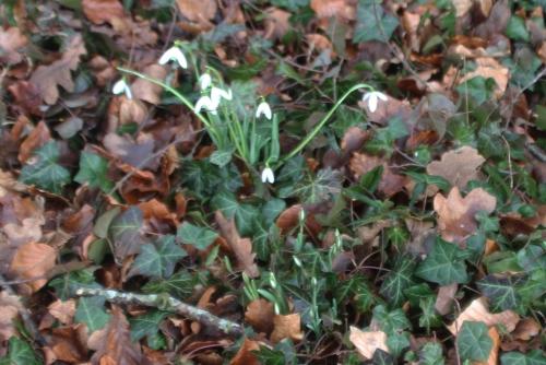 3 galanthus elwesii nivalis veneux 1 fev 2017 014.jpg