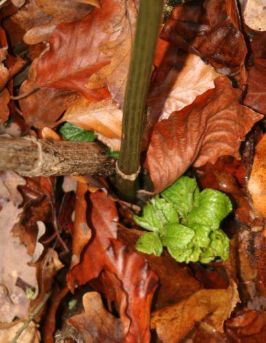 chinensis pousse veneux 11 déc 2010 018.jpg
