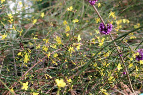 jasminum nudiflorum 1 veneux 3 janvier 2014 002 (4).jpg