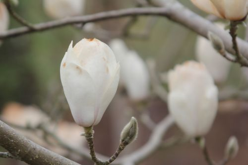 magnolia soul lennei alba gb 9 avril 2012 125.jpg