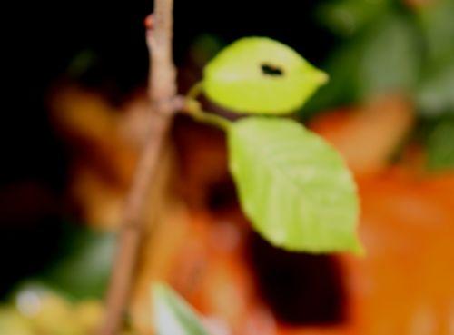 arborescens radiata 2 nov 2012 001.jpg