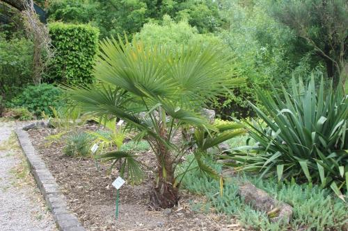 3 trachycarpus takil marnay 8 mai 2014 065 (1).jpg