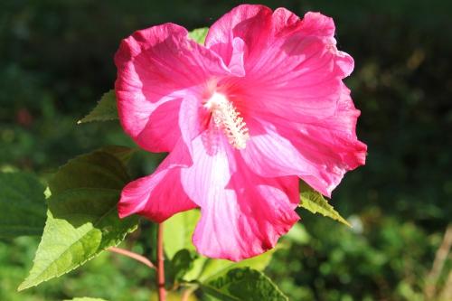 hibiscus planet solene romi 22 oct 2014 003 (2).jpg