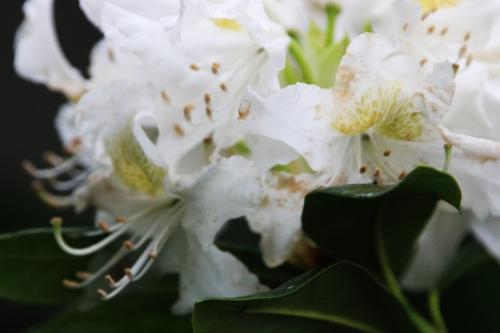 5 cunningham's white veneux 12 mai 2016 006.jpg