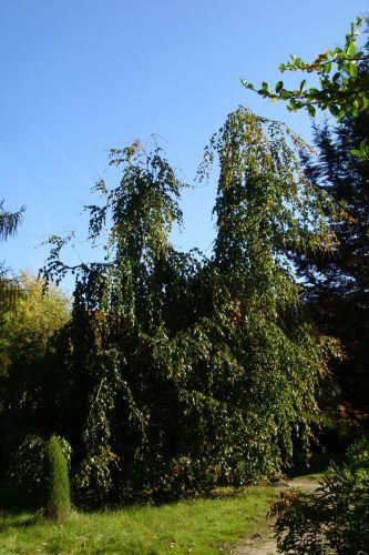fagus pendula jeune barres 11 oct 123.jpg