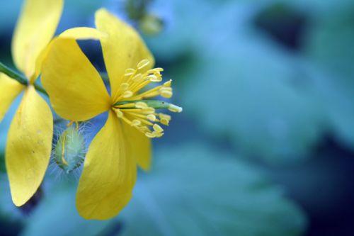 chelidoine fleur veneux 26 avril 084.jpg