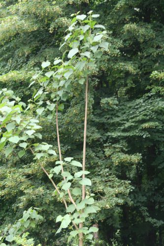 1 Paulownia catalpifolia Segrez 029.jpg