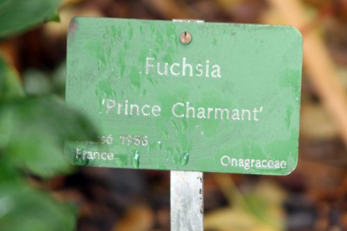 5 fuchsia paris 31 déc 2011 064 (2).jpg