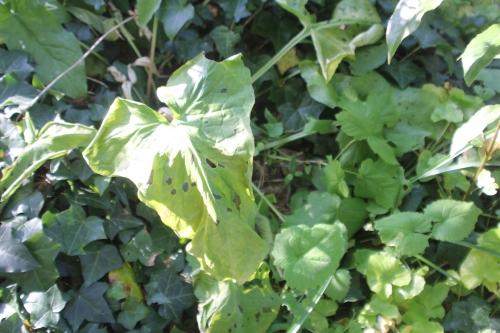 3 arum maculatum veneux 23 avril 2017 016.jpg