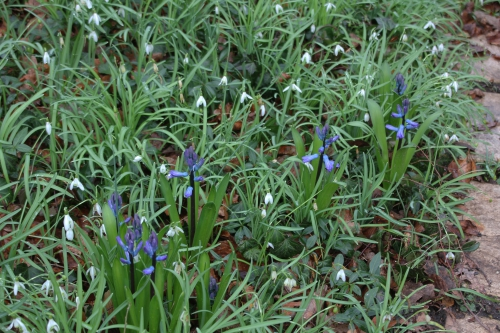 2 jacinthes veneux 4 mars 2016 008.jpg