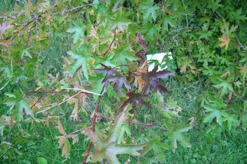 liquidambar ori f rouge marnay 25 sept 2008 077.jpg