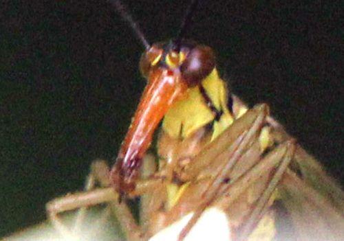 tête mouche scorpion romilly 16 juil 2012 p 313.jpg